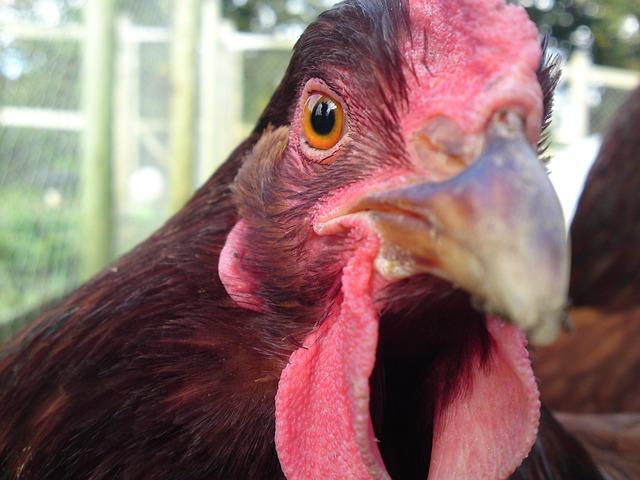 VIDEÓ: Csirketámadás a kertben