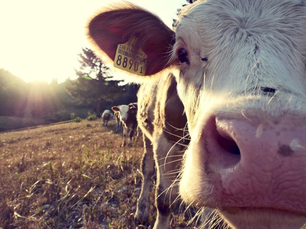 Csak óvatosan! Vírusos agyvelő- és agyhártyagyulladást okozhat a tejfogyasztás