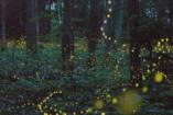 Június természeti csodája: a szentjánosbogár tánc