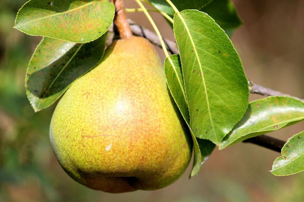 A körte 7 jótékony hatása - Igazi szuperétel ez az őszi gyümölcs!