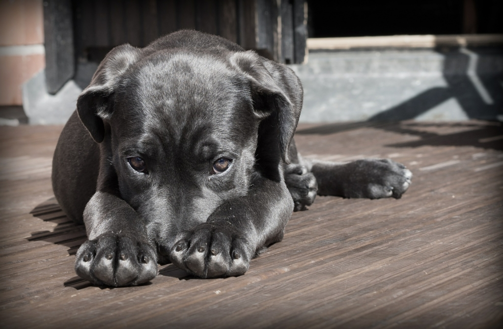 Halálos veszéllyel fenyegeti a kutyákat a szúnyogok terjesztette szívféreg