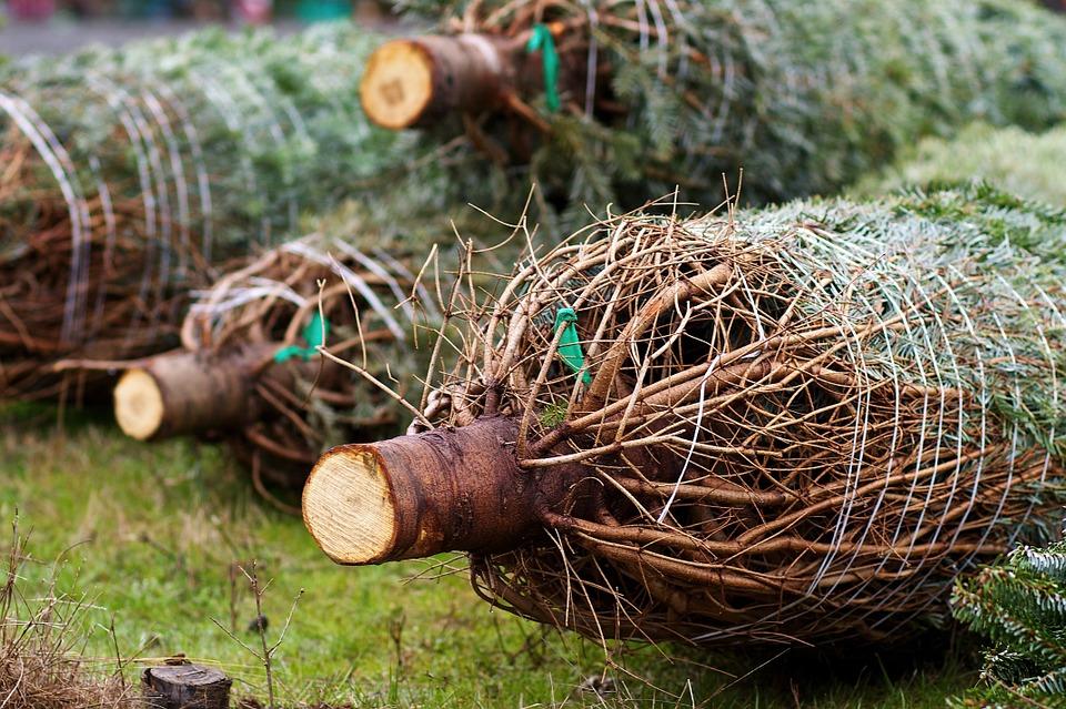 Karácsonyfa-leszedő akció indul!