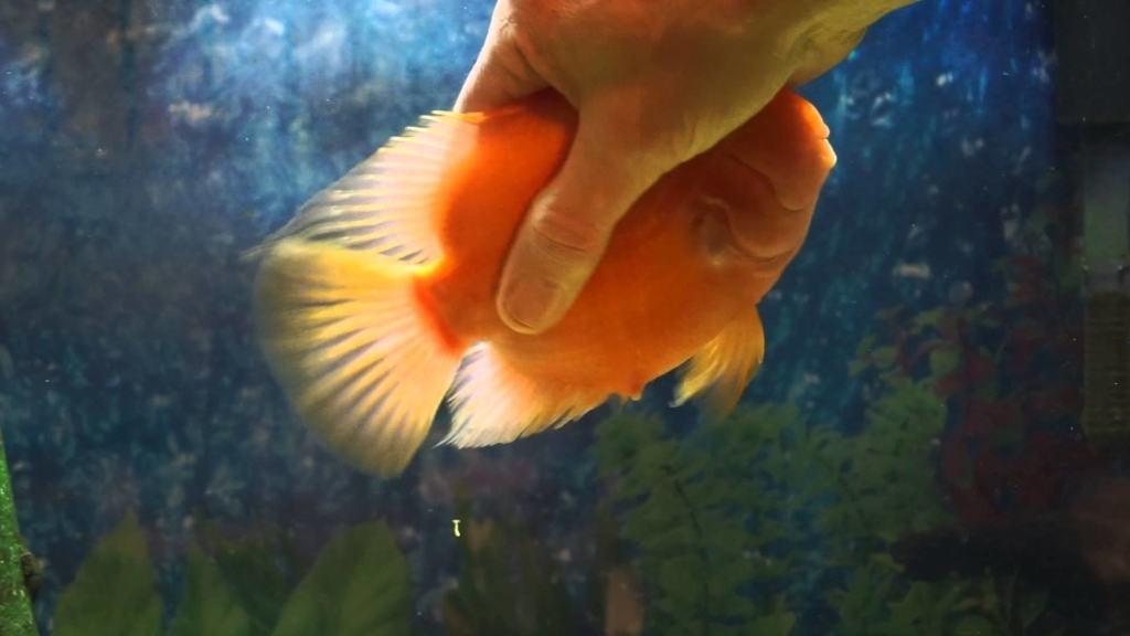 Ez az aranyhal vágyik a simogatásra!