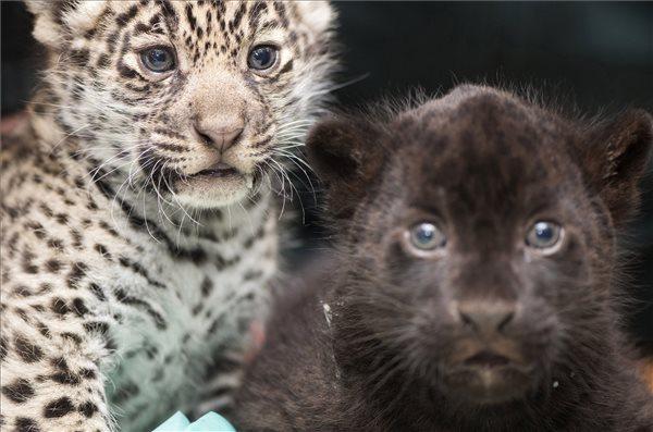 Bemutatták a Nyíregyházi Állatpark jaguárikreit
