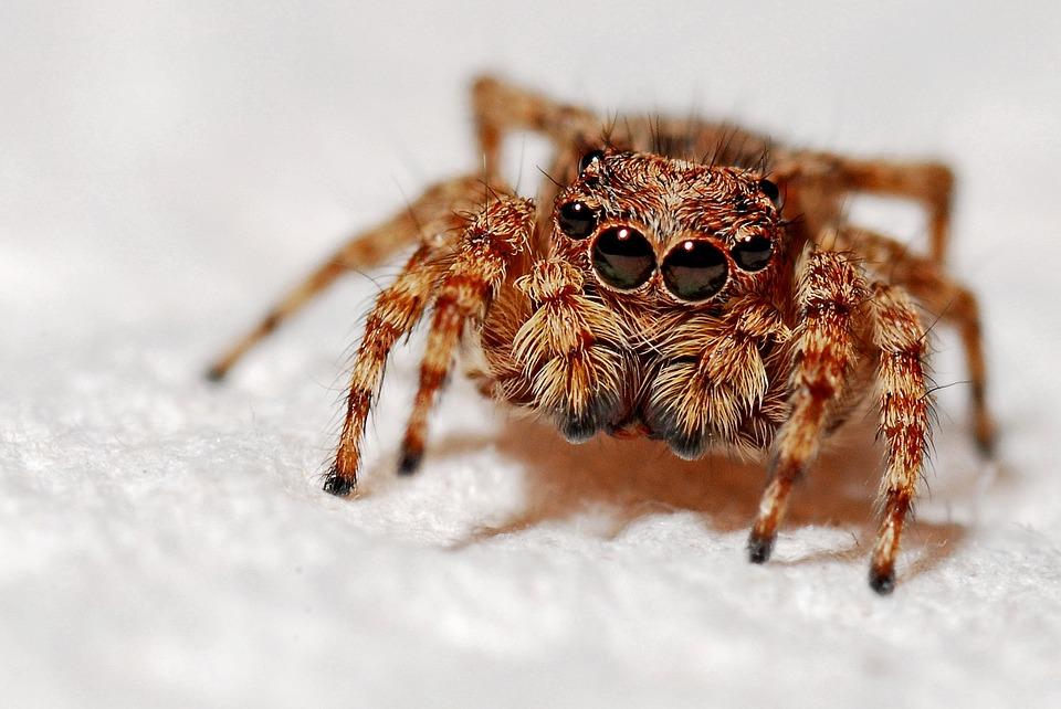 A pók is anyatejjel táplálja kicsinyeit