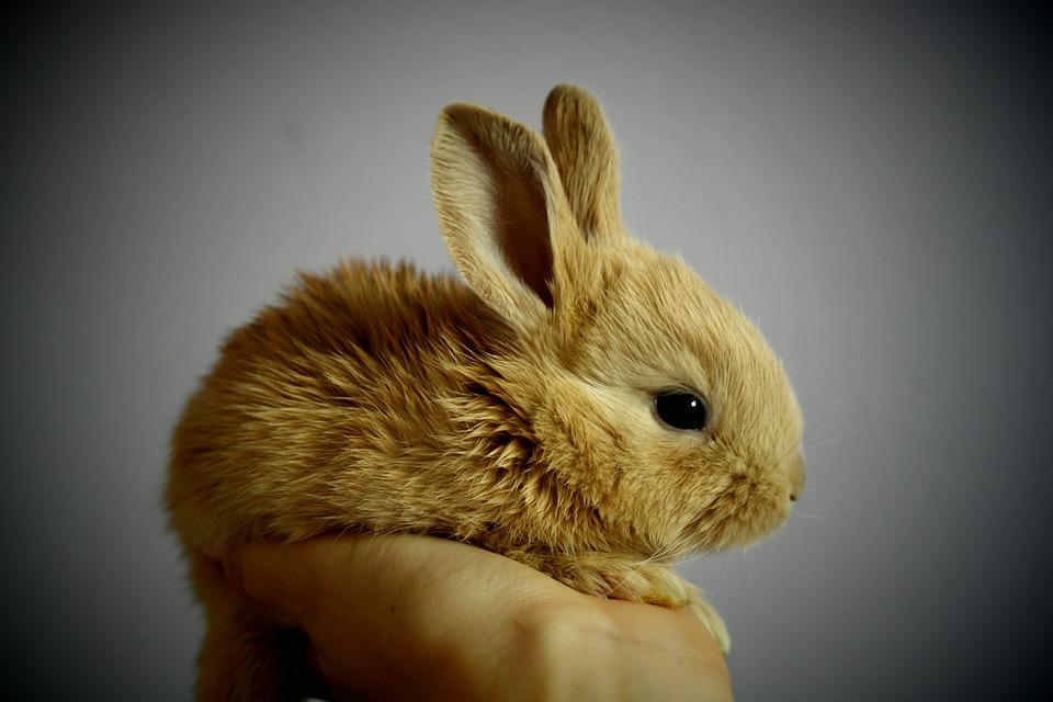 Állatvédők: Ne ajándékozzunk élő nyuszit!