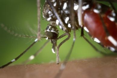 Nálatok is van? Magyarországon is megjelent a zika vírust terjesztő szúnyogfaj!